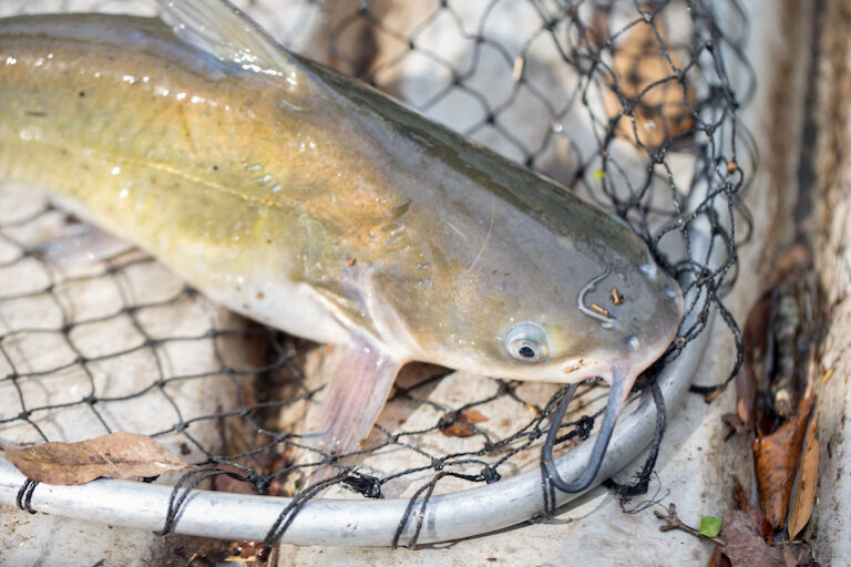 How to catch Channel Catfish