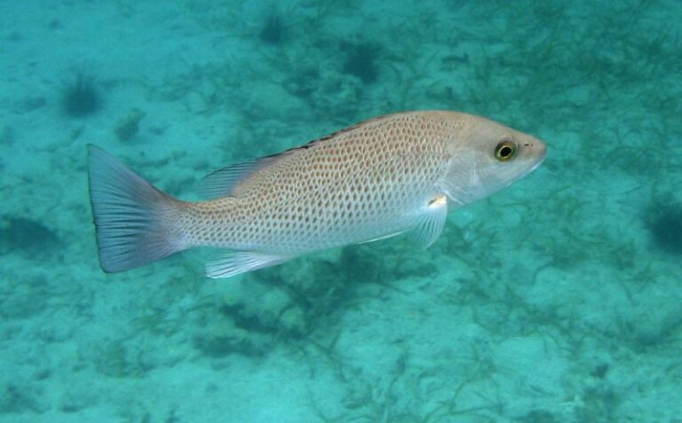 How to catch Mangrove Snapper