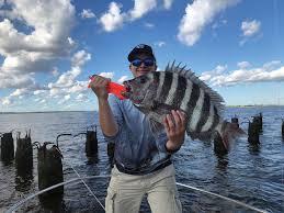 How to catch Sheepshead fish